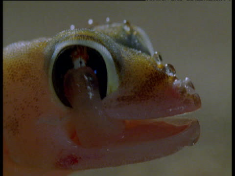 Web footed gecko licks water droplets off of its eyeball