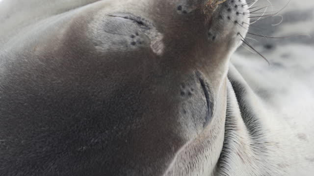 Weddell Seal scratching chin, close-up