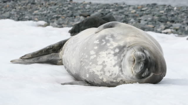 Weddell Seal wakes up and looks at camera