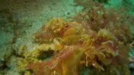 Weedy scorpionfish hiding in sea grass, Taiwan (4K)