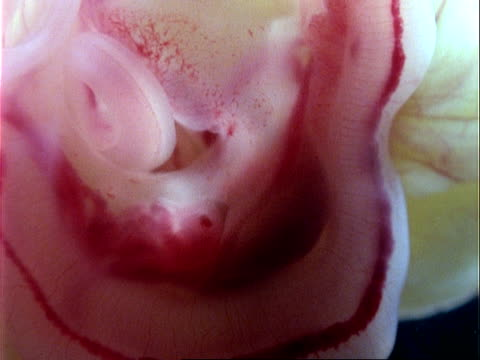 CU 2 week old Grass Snake embryo, heart beats