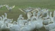 Weidegans - Excited Free range geese