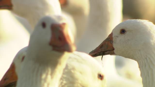 Weidegans - Free range geese close up
