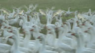 Weidegans - Free range geese in their Farm 02