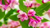 Weigela florida flower blooming in a time lapse video on a green background. Time lapse of Weigela florida flower in motion.