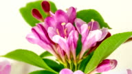 Weigela florida flower blooming in a time lapse video on a white background. Time lapse of Weigela florida flower in motion.