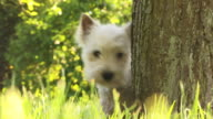 CU, West Highland White Terrier in park
