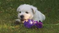 CU, West Highland White Terrier puppy playing in garden
