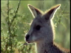Western Grey Kangaroo head, New South Wales