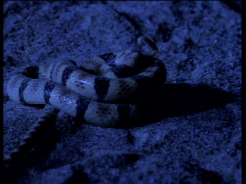 Western shovel nosed snake attacks, constricts, and eats scorpion in desert