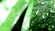 Wet Green Leaves