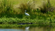 Wetland Alligator with uneasy Great Egret moving away