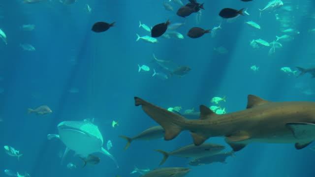 MS Whale Shark (Rhincodon typus) and group of fish swimming in Georgia Aquarium / Atlanta, Georgia, USA