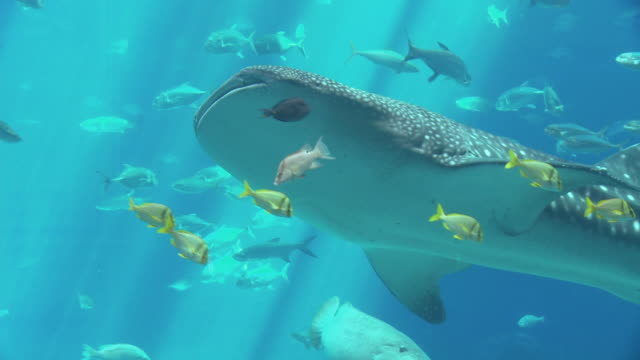 CU ZO MS Whale Shark (Rhincodon typus) and school of fish swimming in Georgia Aquarium / Atlanta, Georgia, USA