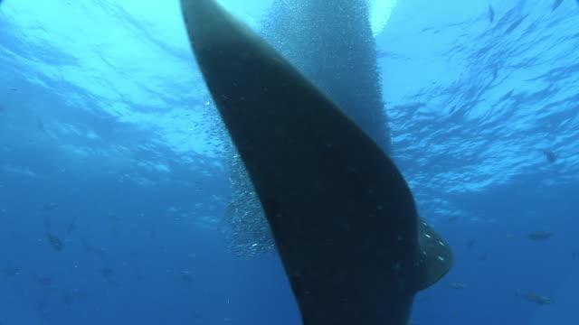 Whale shark (Rhincodon typus) and yellowfin tuna (Thunnus albacares) feed on shoal of tiny fish, Venezuela