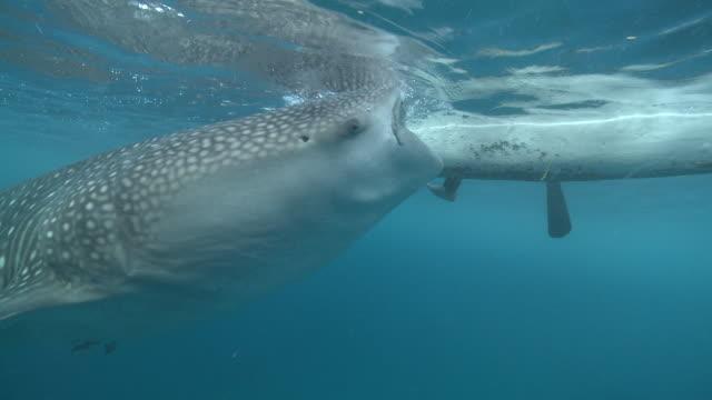 MS TS Whale shark being fed by fisherman / Oslob, Cebu, Philippines