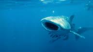 Walhai (Rhincodon Arten) ernähren sich von Plankton.  Die Lage ist der Andamanensee, Krabi, Thailand. Dies ist eine klassische Anzeige von ur das instinktive Verhalten der Tiere. Eine symbiotische Beziehung, die ihr Überleben sichert.