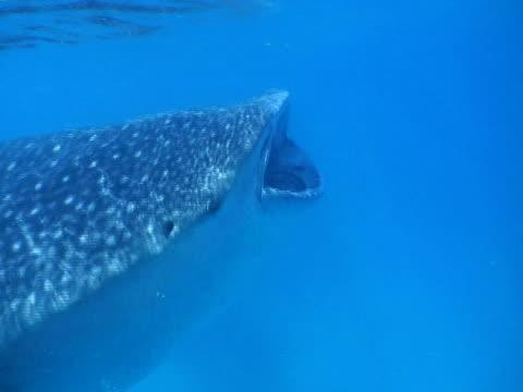 Whale Shark (Rhincodon typus) filter feeding, Landaa Giraavaru, Maldives