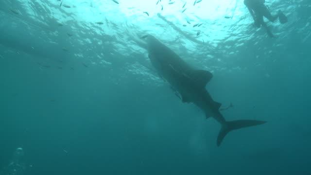 MS Whale shark hanging waiting for food / Oslob, Cebu, Philippines
