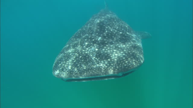 Whale shark, head on to camera, Mozambique