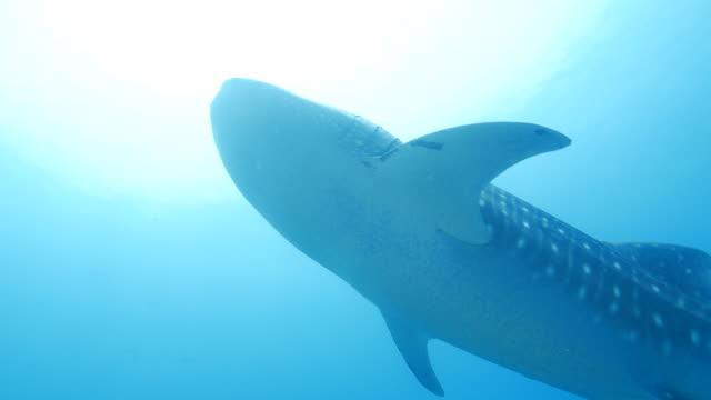Whale Shark ist durch elegant (4K