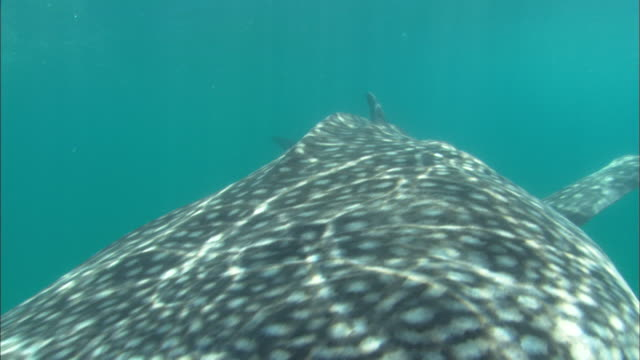 Whale shark, mouth open pass by, Mozambique