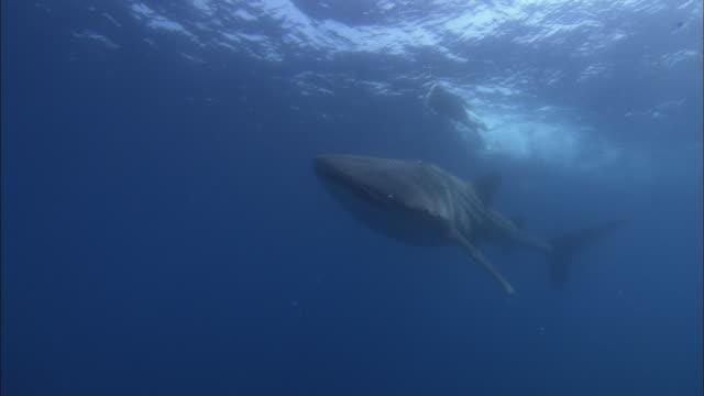 Whale shark, Mozambique