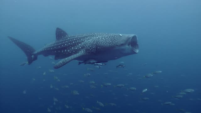Whale shark open the big mout swimming in the ocean