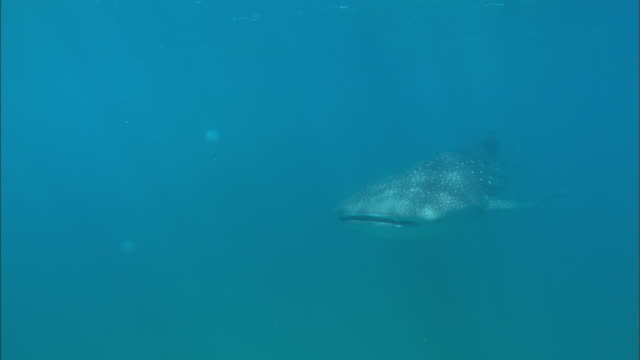 Whale shark, pass by, Mozambique