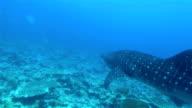 Whale shark/Rhincodon typus auf den Malediven
