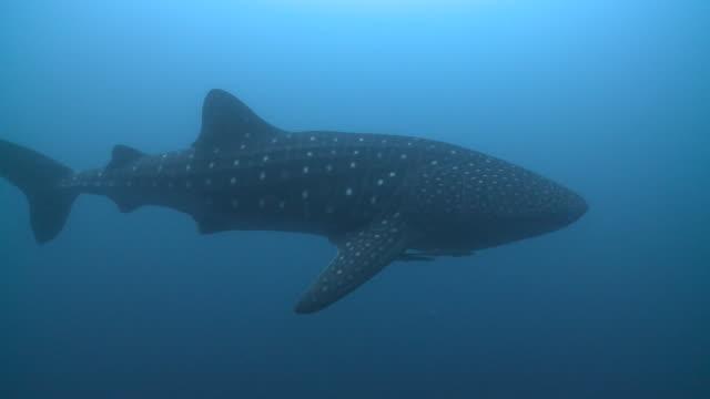Whale shark (Rhincodon typus), Southern Visayas, Philippines
