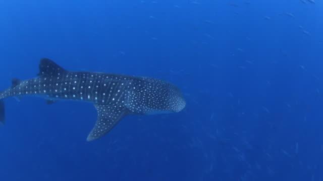 A Whale Shark Surrounded by Schools of Tuna, Utila Bay Islands Honduras