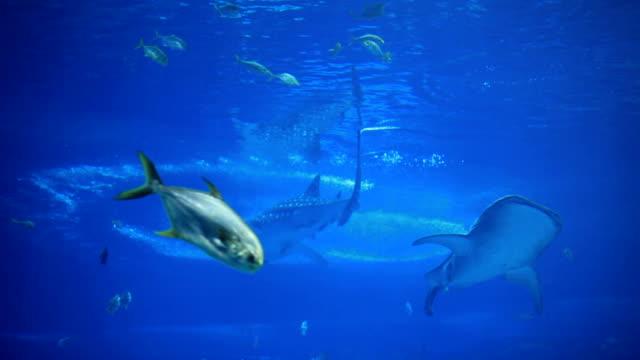 Whale Shark Swim in Aquarium