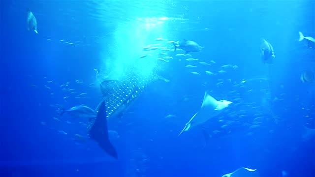 Walhai zu schwimmen im Meer