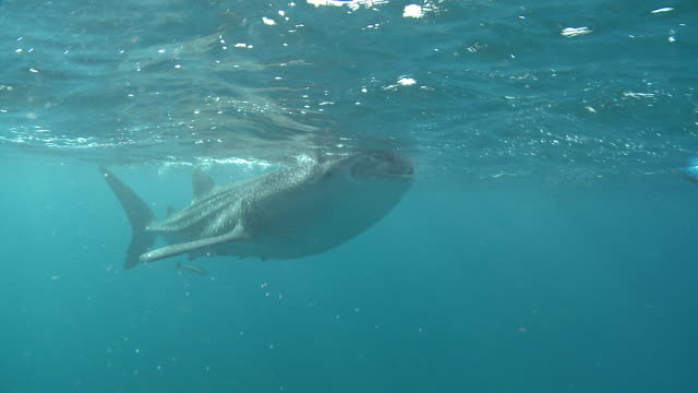 MS TS Whale shark swimming near surface / Oslob, Cebu, Philippines
