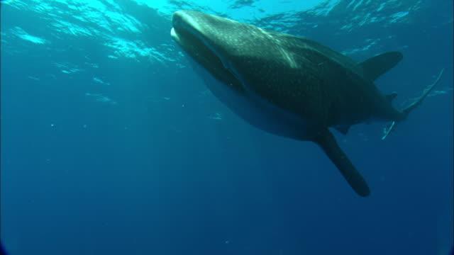 Whale shark (Rhincodon typus) swims in Atlantic, Ascension Island