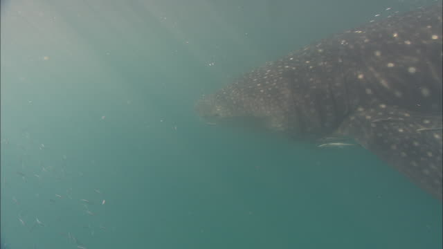 A whale shark swims in the ocean accompanied by a school of tiny fish. Available in HD.