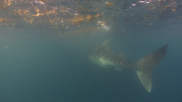A whale shark swims through murky water near the ocean's surface. Available in HD.