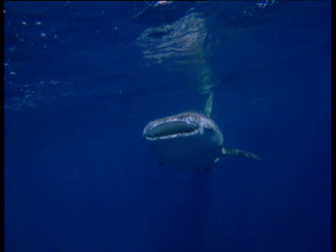 Whale shark swims towards and past camera in Arabian Sea
