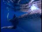 Whale shark swims towards camera with large gaping mouth in Arabian Sea, track left past spotted body markings and Remoras underneath shark