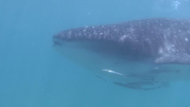 Whale Shark (Rhincodon typus