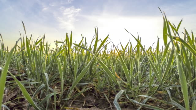 HD TIME-LAPSE: Wheat Covered With Morning Dew