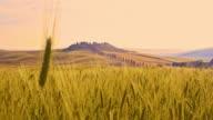 R/F Wheat ear agains villa in Tuscan countryside