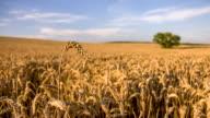 R/F DS Weizen Ohren gegen einsamen Baum