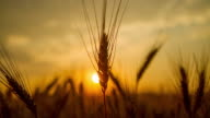 T/L Wheat ear at sunrise
