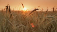 DOLLY HD: Campo di grano al tramonto