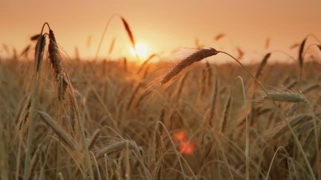 HD DOLLY: Weizen Feld bei Sonnenuntergang