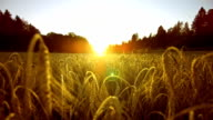 Wheat Field At Sunset (Super Slow Motion)