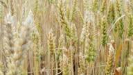 Wheat Field Breeze