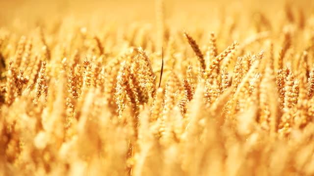 Wheat Field - HD Video